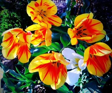 Blue Ridge Tulips
