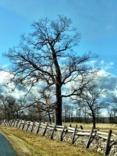 Llangollen Tree