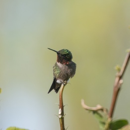 2013-05-03_Hummingbirds_Booker_0087