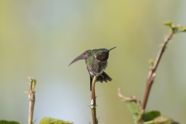 2013-05-03_Hummingbirds_Booker_0088