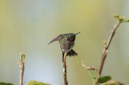 2013-05-03_Hummingbirds_Booker_0088