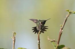 2013-05-03_Hummingbirds_Booker_0089