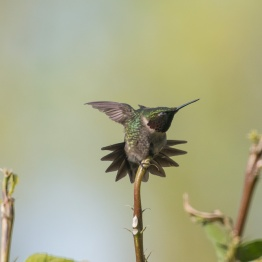 2013-05-03_Hummingbirds_Booker_0089