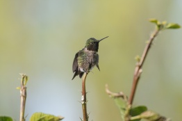 2013-05-03_Hummingbirds_Booker_0097