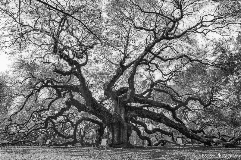 Angel Oak Tree in Charleston, South Carolina