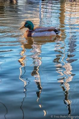 Mallard Reflection