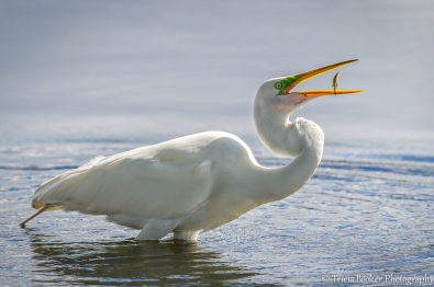 Great Egret Catch
