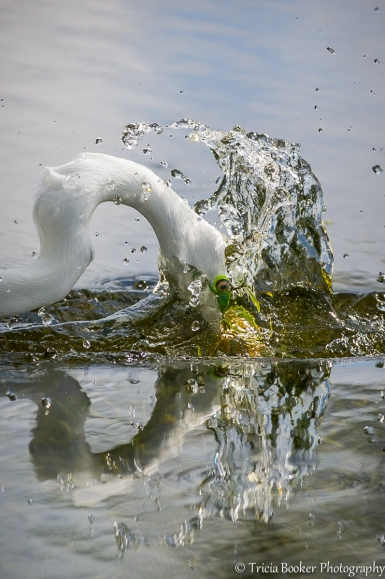 Great Egret Splash