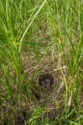 Grasshopper sparrow nest