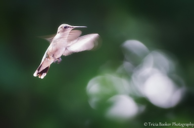 2014-08-04_Hummingbirds_Booker_0092-Edit-Edit-Edit