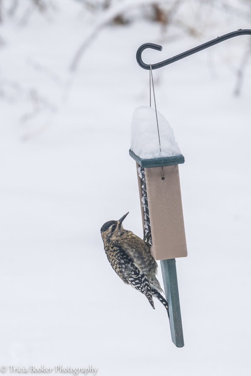 2015-01-07_woodpecker_Booker_0004