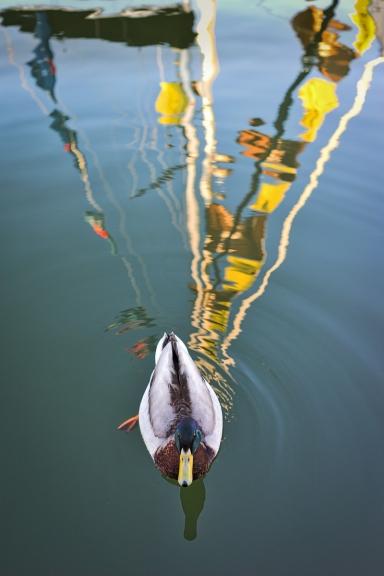 Top Duck
