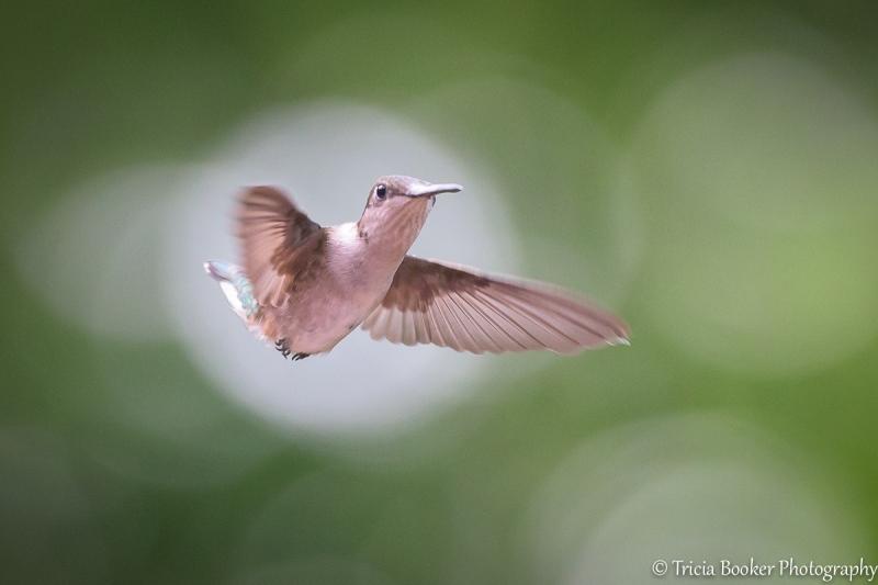 2015-06-18_Hummingbirds_Booker_0019