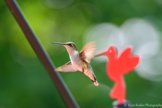 2015-06-30_Hummingbirds_Booker_0022